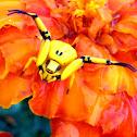 Garden crab spider