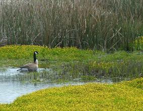 Photo: Goose near bridge to Limantour Beach
