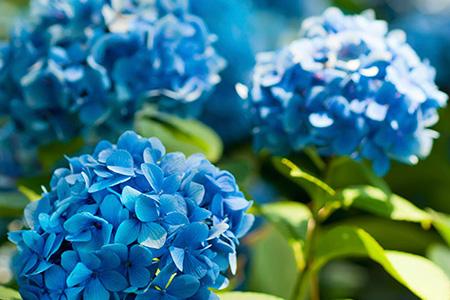 Cvjećare Budva, Nikšić, Kotor - Hortenzija - vodena ljepotica raskošnih boja