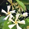 Confederate Jasmine/Star Jasmine