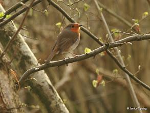 Photo: The familiar robin