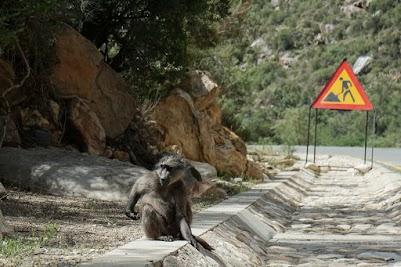 Bärenpaviane in der Meiringspoort