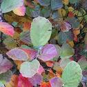 Witch Alder shrub