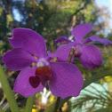 Vanda Orchids(Violet)