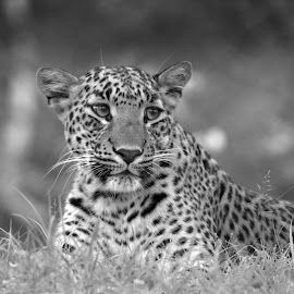 by Soham Chakraborty - Black & White Animals