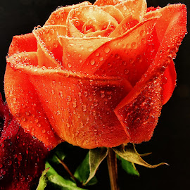 Florida Rose (Orange) by Dave Walters - Nature Up Close Other Natural Objects ( macro, nature, rose, lumix fz2500, colors )