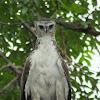 Martial Eagle (juv)