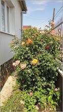 Photo: Trandafir (Rosa)  - din Gherla, Str. Romana, Nr.