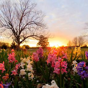 Springtime Sunrise by Ruby Stephens - Landscapes Sunsets & Sunrises ( purple, hyacinths, white, bare branches, pecan trees, pink, gold, sunrise )