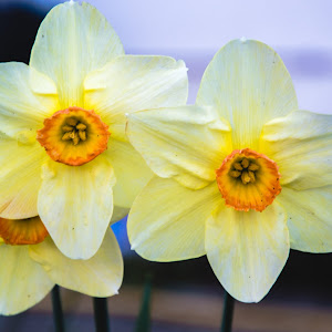 cvijecezuto (1 of 1).jpg
