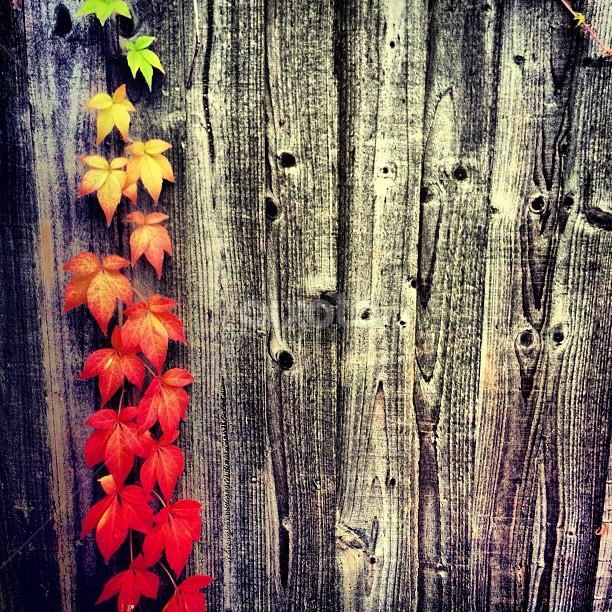 by Dan Mounsey - Instagram & Mobile Instagram ( fence, instagram, autumn, leaves, garden )