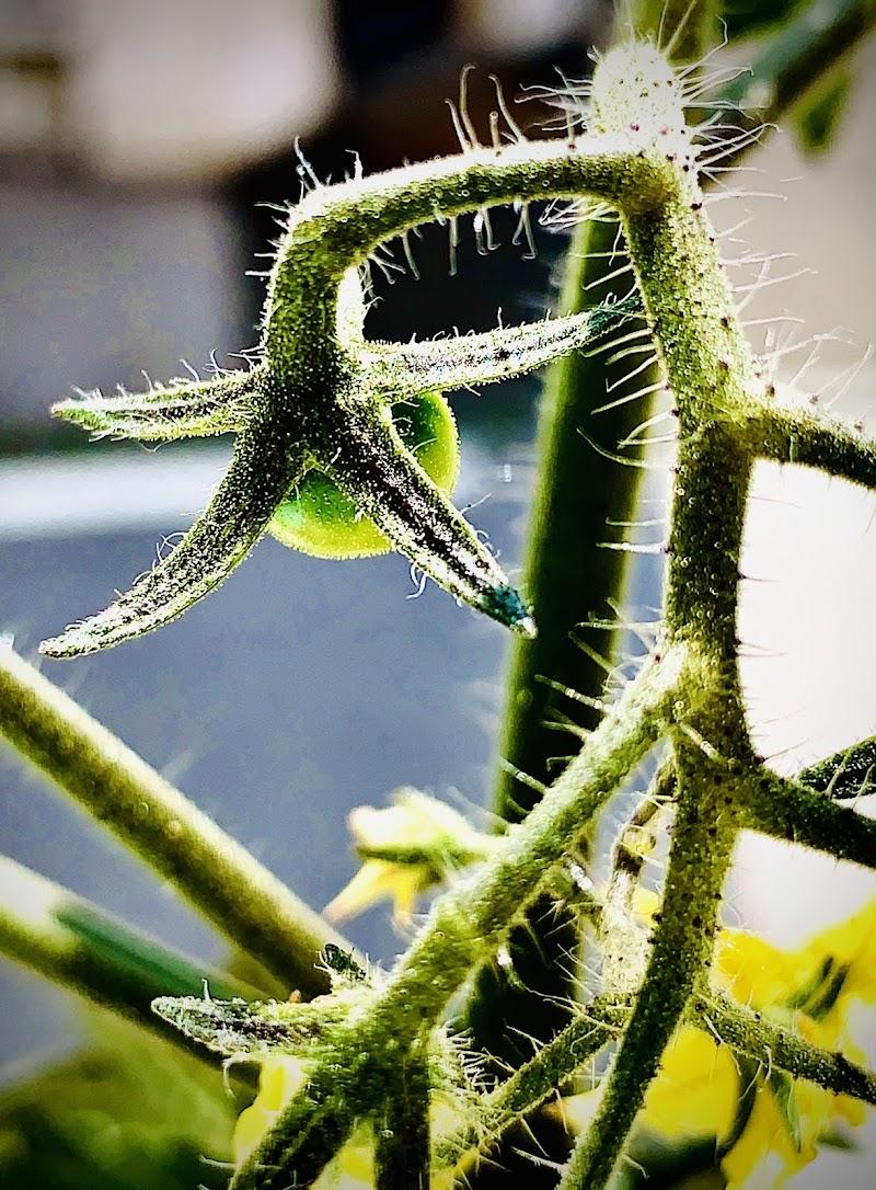 Verde pomodoro di S_H_A_N