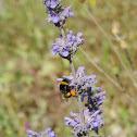 Bumblebee pollinating Mediterranean catnip