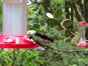 Photo: Feeders make humming birds easy to view.