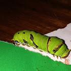 Lime butterfly caterpillar
