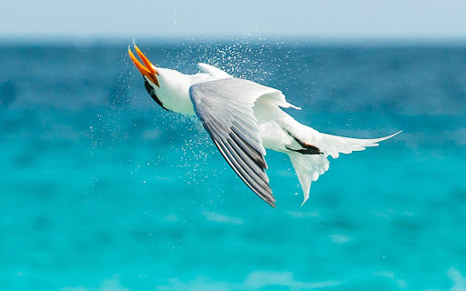 bonaire-seabird-in-flight.jpg - A seabird caught in midflight on the coastline of Bonaire.