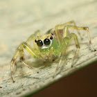 Epeus Jumping Spider