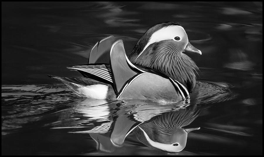 Mandarin Duck by Dave Lipchen - Black & White Animals ( mandarin duck )