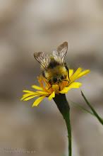 Photo: *Blüte mit Hummel*   Diese Hummel lässt sich den Nektar schmecken.  Die Hummeln (Bombus) sind eine zu den Bienen gehörende Gattung staatenbildender Insekten.  Die über einen Wehrstachel verfügenden.