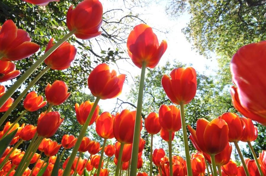 Giant Tulips by Savas Karagoz - Nature Up Close Flowers - 2011-2013 ( tulip )