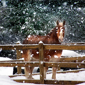 Kari by Irene Orloff - Animals Horses ( winter, horse, team, belgian )
