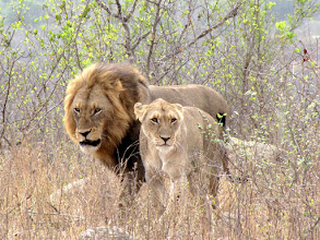 Photo: Kruger NP - lions