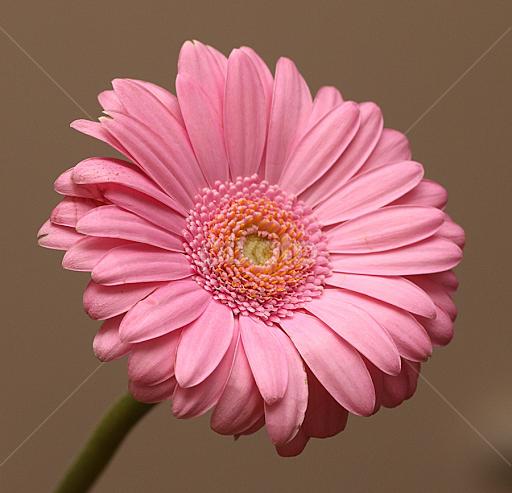 Petal Pink Single Flower Flowers Pixoto