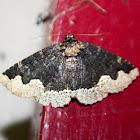 Horrid Zale Moth