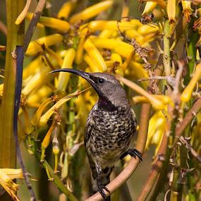 by Dawie Nolte - Animals Birds ( aloe, sweet, sunbird, yellow )