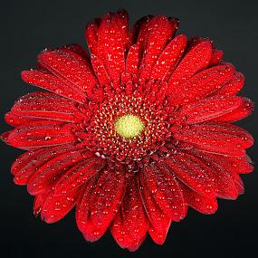 by Luca Arșinel - Flowers Single Flower (  )