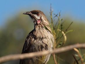 Photo: Red Wattle Bird