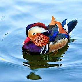 Cute Little Duck by Chairil Anwar - Animals Birds
