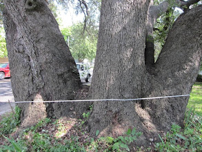 "Photo: You can see that the tape is both below the ""fork"" and above the ground line. Physiologically it is a single specimen, but for measurement purposes, is it ""one tree?"" Hmmm...."