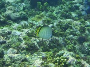 Photo: Chaetodon vagabundus (Vagabond Butterflyfish), Siquijor Island, Philippines