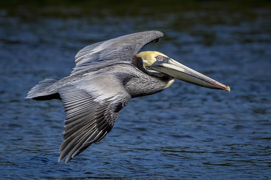 Pelican in Flight by Debbie Quick - Animals Birds ( debbie quick, outdoors, nature, florida, bird, pelican, animal, wild, debs creative images, water, wildlife )