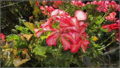 Photo: Mușcată (Pelargonium), din Turda, de pe Str. Salinelor, Nr.2 - 2018.10.11