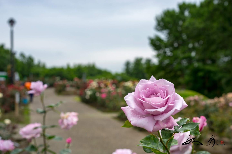 美しい紫のバラ「ブルームーン」
