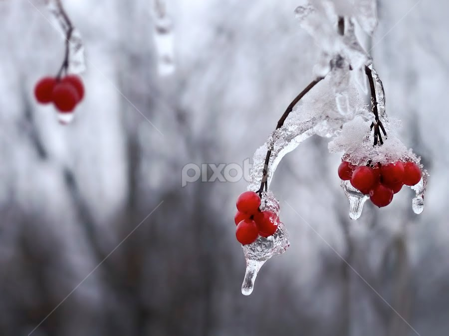winter berries by Marianna Armata - Nature Up Close Flowers - 2011-2013 ( macro, red, winter, nature, ice, icycles, marianna armata, pwcredscapes, berries )