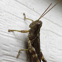 Grizzly spur throated grasshopper