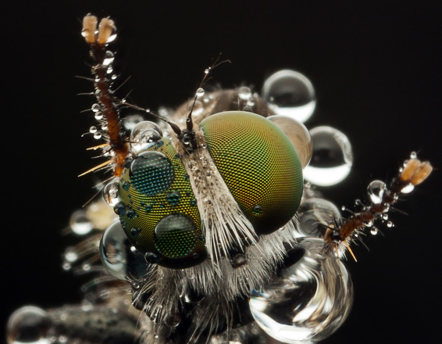 Robberfly by James Ac - Animals Insects & Spiders