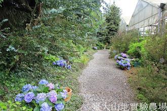 Photo: 拍攝地點: 梅峰-溫帶花卉區 拍攝植物: 繡球花(兩旁藍紫色花) 拍攝日期:2012_05_19_FY