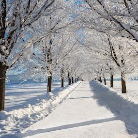 Winter Maple Lane by Craig Lybbert - Landscapes Prairies, Meadows & Fields ( snow, greenbluff, frost, trees, maple, lane,  )