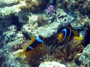 Photo: Коралловых рифов без актиний и клоунов не бывает. Красноморские амфиприоны в  гетерактисе великолепном