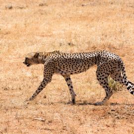 by Simona Susino - Animals Lions, Tigers & Big Cats (  )
