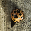 Leaf-eating ladybird
