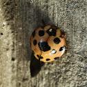 Leaf-eating ladybird