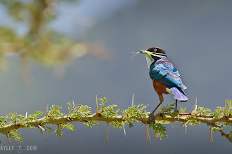 Photo: Superb Starling catch Ngorongoro Crater, Tanzania, Africa  The aptly named superb starling impresses his mate with an offering of a juicy insect while the iridescent colours shine off his back in a beautiful flash of blue and green. The tree branch he is standing on is of the iconic acacia tree, the thorns meant to protect the tree make these trees a safe haven; a suitable place for the many thousands of species of birds that call africa home.  photographic details: This bird was standing here for quite a while, normally I would prefer sunset or sunrise conditions but the overhead light by the mid day sun was perfect to light up the back of this bird, who would look mostly black in the wrong light. I could not ignore this opportunity despite it not being the golden hour. I don't like to place my subjects in the centre, nor do I want to lose myself too much in the details of the animal. With this in mind I left the bird on the right side of the image, looking into the frame, I made sure I could include the acacia tree to create a sense of context also illustrating the incredible thorns on this famous tree. One picture, two subjects, my kind of photo.