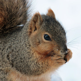 Fox Squirrel by Nancy Daugherty - Animals Other Mammals