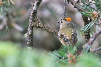 Photo: Goldcrest