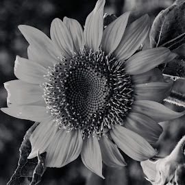 sunflower by SANGEETA MENA  - Black & White Flowers & Plants
